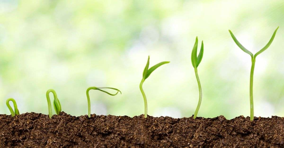 Several seedlings sprouting from soil, in various stages of emergence